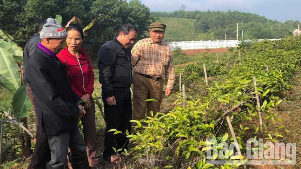 Cultivation models, Purple Morinda Officinalis, widely spread, Son Dong district, Bac Giang province, Farmer Support Fund, provincial Farmers' Association, high economic value, convenient consumption