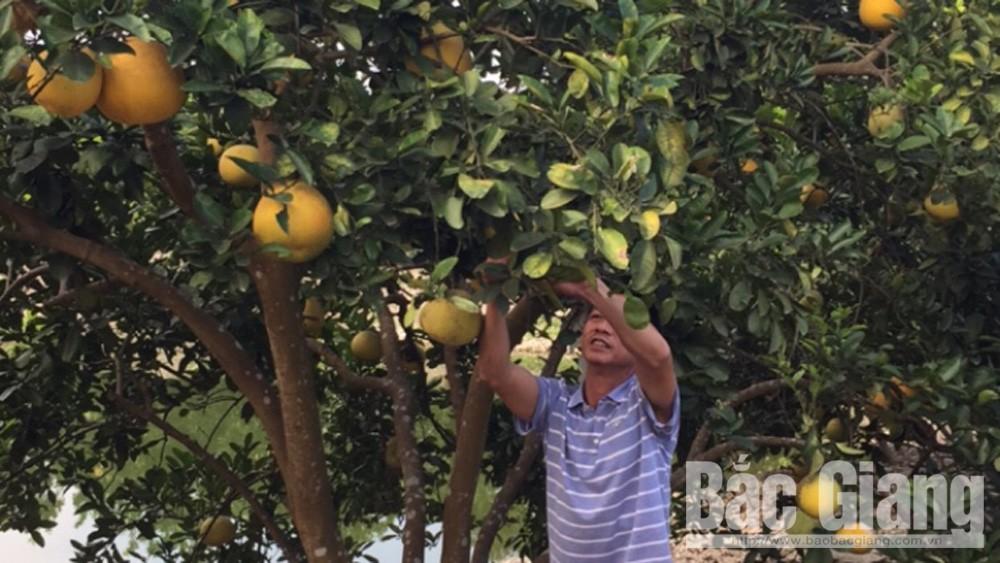 Lục Nam: Sản lượng cam, bưởi tăng gần 1 nghìn tấn