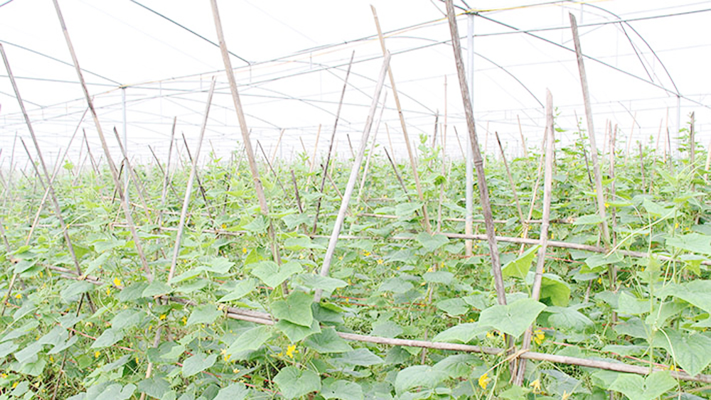 Bac Giang develops hi-tech commodity agriculture production