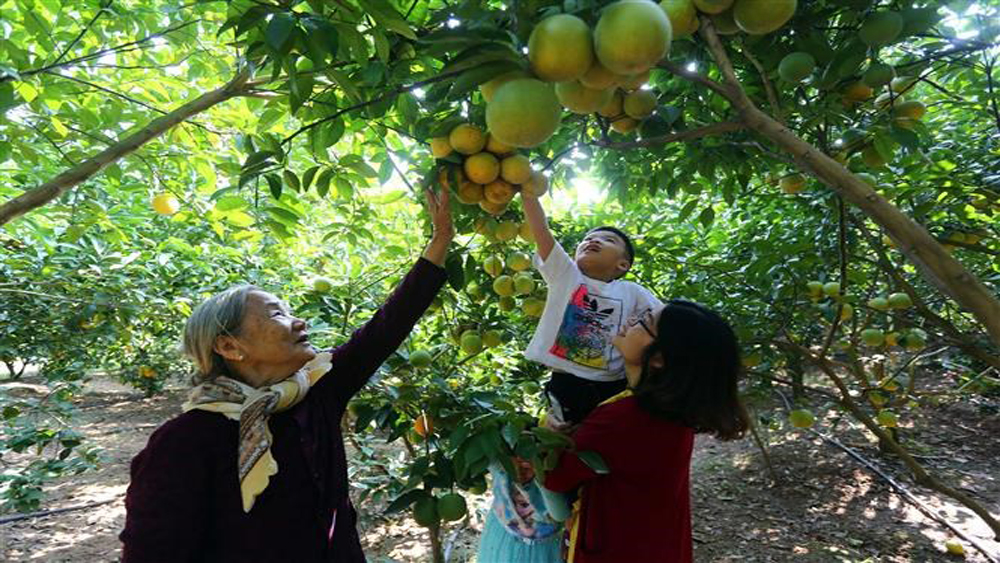 Orchards in Bac Giang attract visitors