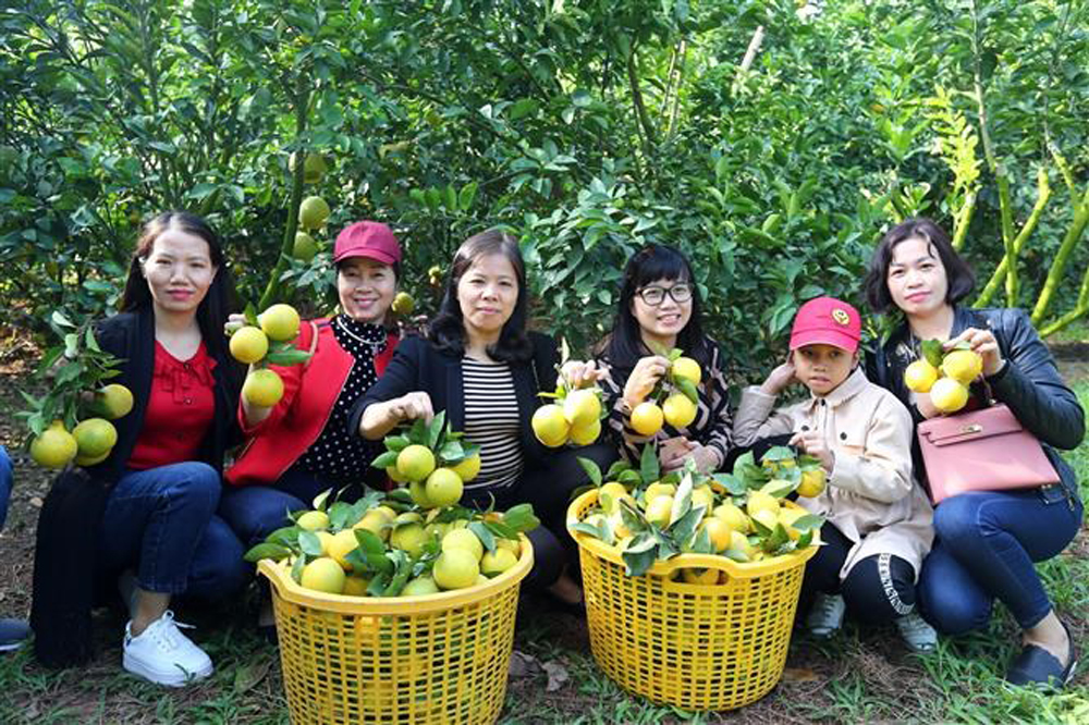 Orchards in Bac Giang, Bac Giang province, Luc Ngan fair, sweet orange, Citrus trees, great revenue, orchard owners