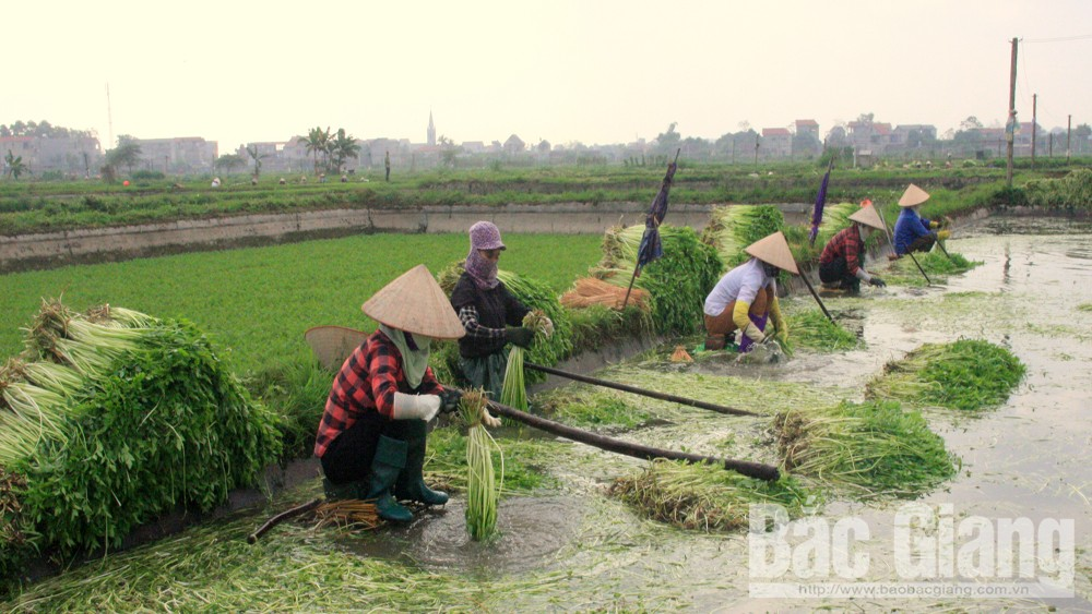 Lao động rửa, bó rau cần được trả tiền công 100 nghìn đồng/100kg rau.
