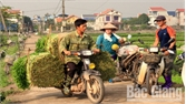 Mỗi ngày xã Hoàng Lương tiêu thụ 140 tấn rau cần