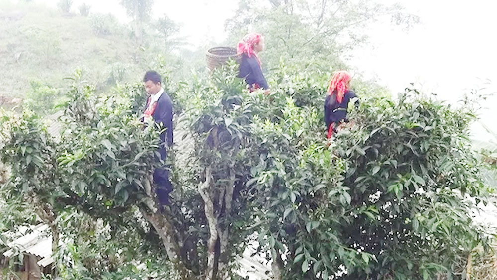Ha Giang's Shan Tuyet tea receives geographical indication certificate
