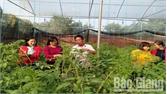 Nghiệm thu mô hình trồng cà chua Iarel tại xã Tân Mỹ