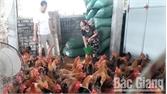Mỗi nghìn gà người dân thu lãi 18-20 triệu đồng