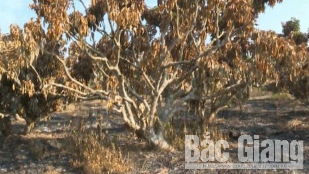 Công an huyện Lục Ngạn điều tra vụ vườn vải thiều bị cháy