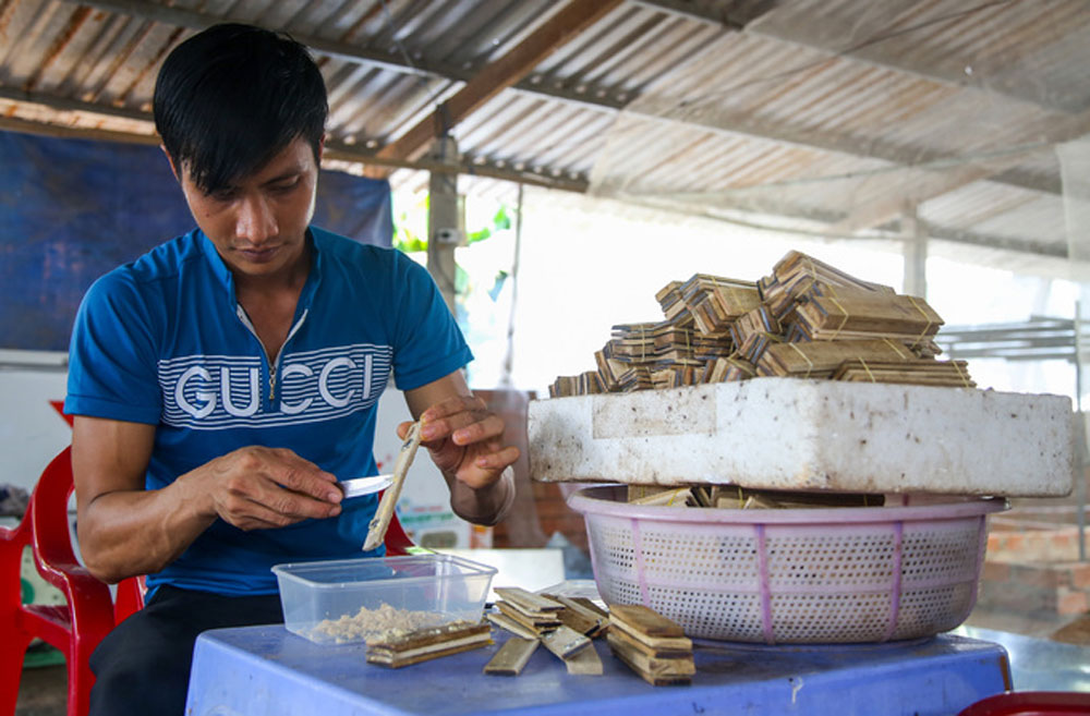 Flies, cash cow, Mekong Delta farmer, larvae of black soldier flies, protein for livestock, black soldier fly farm, agriculture and craft villages