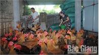 Chuẩn bị gà đồi đón Tết: Gà ri lai chiếm ưu thế