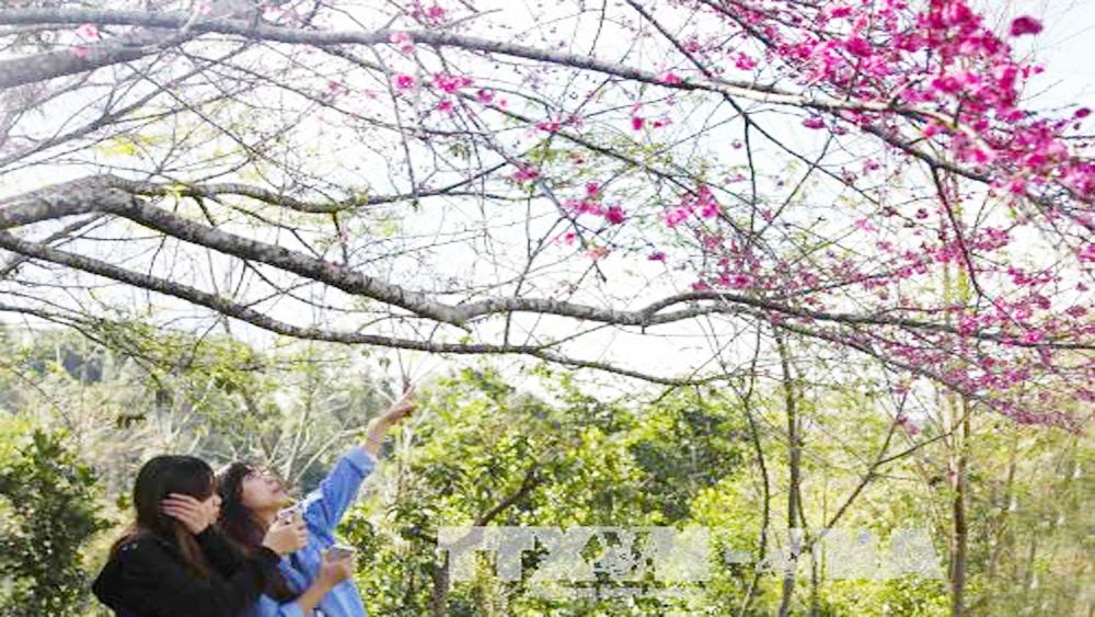 cherry blossom festival, cherry blossom, Pa Khoang Dien Bien 2019, mountain tribes, ethnic minority people, higan sakura, Japan Vietnam