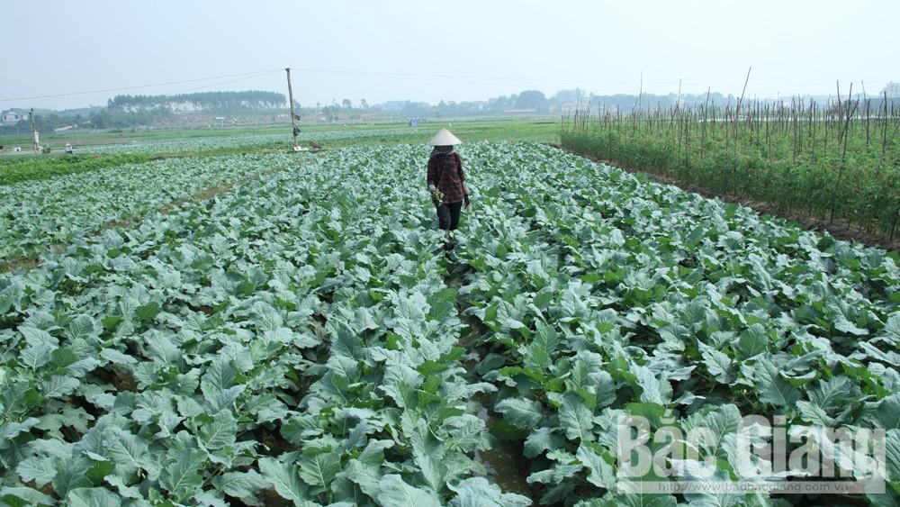 Trồng rau chế biến cho thu nhập hơn 130 triệu đồng/ha/năm