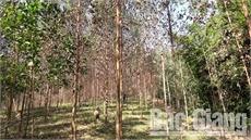 Không trồng mới rừng bằng dòng bạch đàn PN14 trên phạm vi toàn tỉnh
