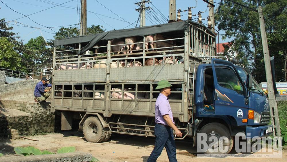 Lãi gần 200 triệu đồng mỗi tháng nhờ mua lợn thương phẩm