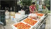 Trồng cà chua lãi gần 10 triệu đồng/sào