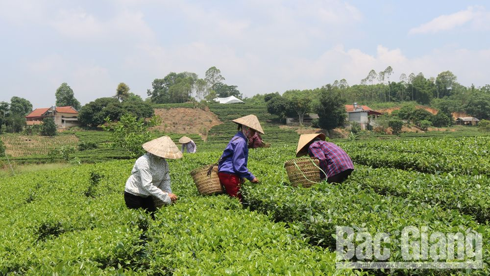VietGAP and VietGAP oriented tea output reaches over 2,100 tonnes in Yen The district