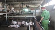 Tiêu hủy hơn hai tấn lợn bệnh lở mồm long móng ở Đồng Nai
