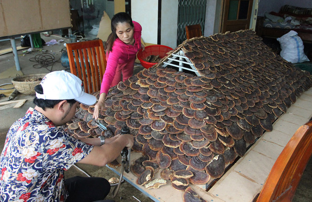 stilt house, medicinal mushrooms, agricultural pride, Luong Tan Oanh, local varieties of mushrooms,  green limestone mushroom, ironwood trees