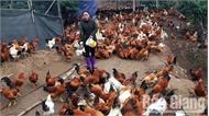 Trang trại nuôi gà trống thiến lớn nhất tỉnh
