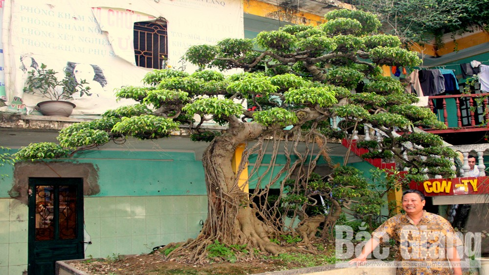 Thành phố Bắc Giang, cây cảnh độc, Cây ảnh 99 ngọn núi nhạm biền