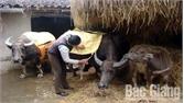 Yên Thế chủ động phòng, chống rét cho trâu, bò