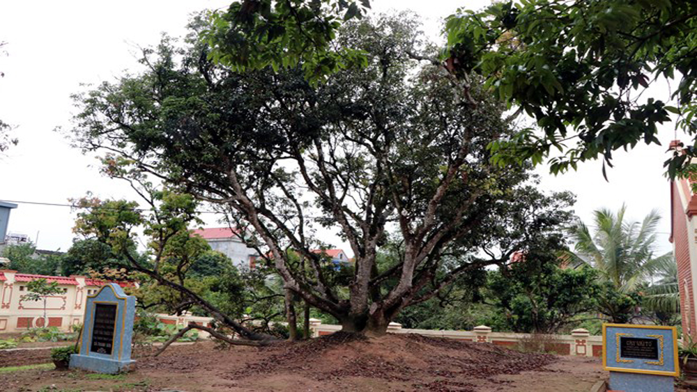 Hai Duong province moves to conserve ancestral lychee tree