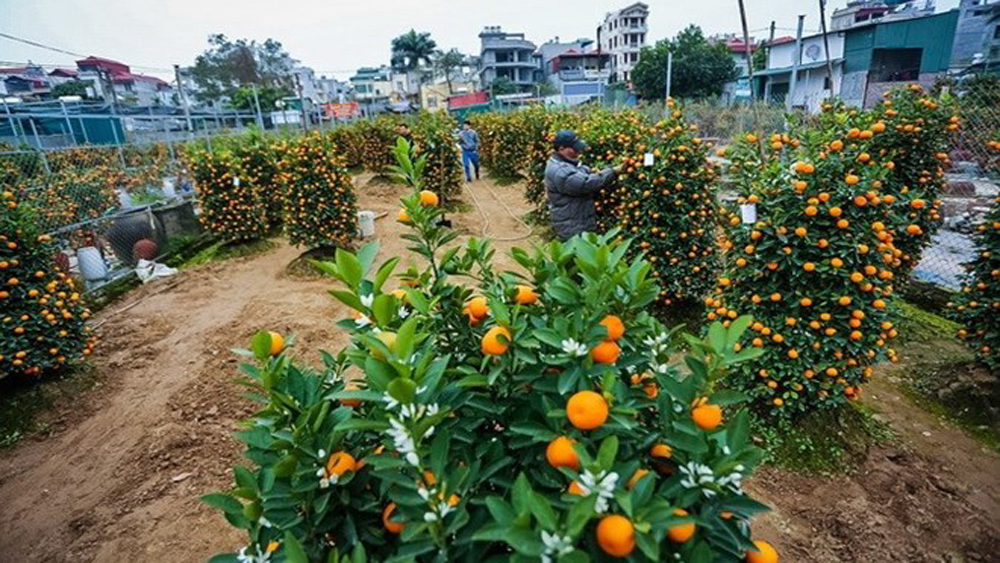Ornamental plant growers rush towards Lunar New Year