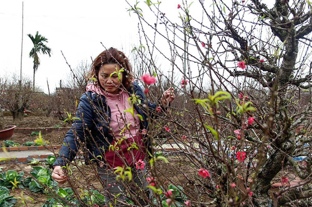 Ornamental plant growers, Lunar New Year, Tet festival, peach blossom, kumquat trees, varied demands of consumers