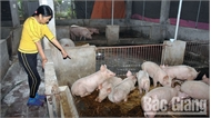 Quản lý đàn vật nuôi: Bao vây ổ bệnh, dập dịch kịp thời