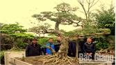 Vườn cây bạc tỷ của nông dân Hiệp Hòa