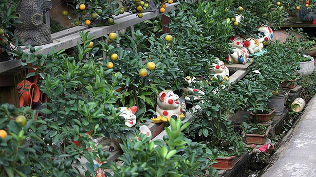 Độc đáo lợn cõng quất bonsai