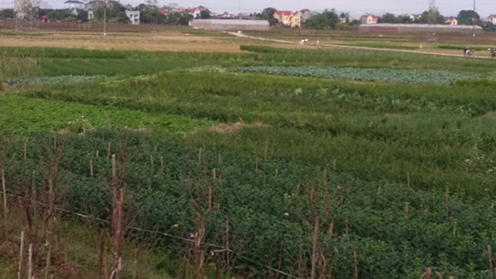 Về thăm cánh đồng,  nông sản chất lượng cao,  xã Dĩnh Trì , giáp tết