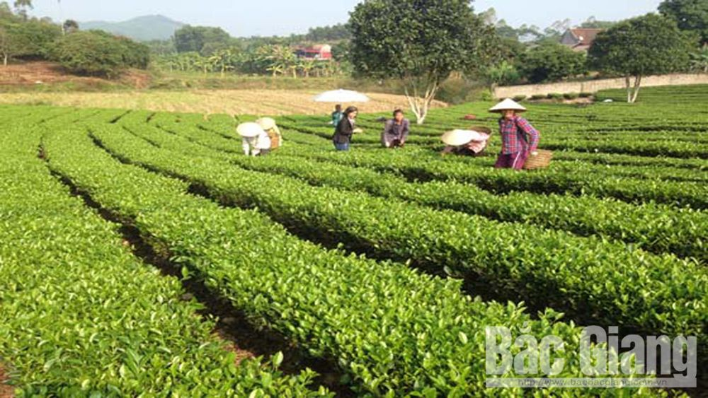 Bright prospects in organic tea growing model