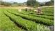 Bright prospects in organic tea growing model