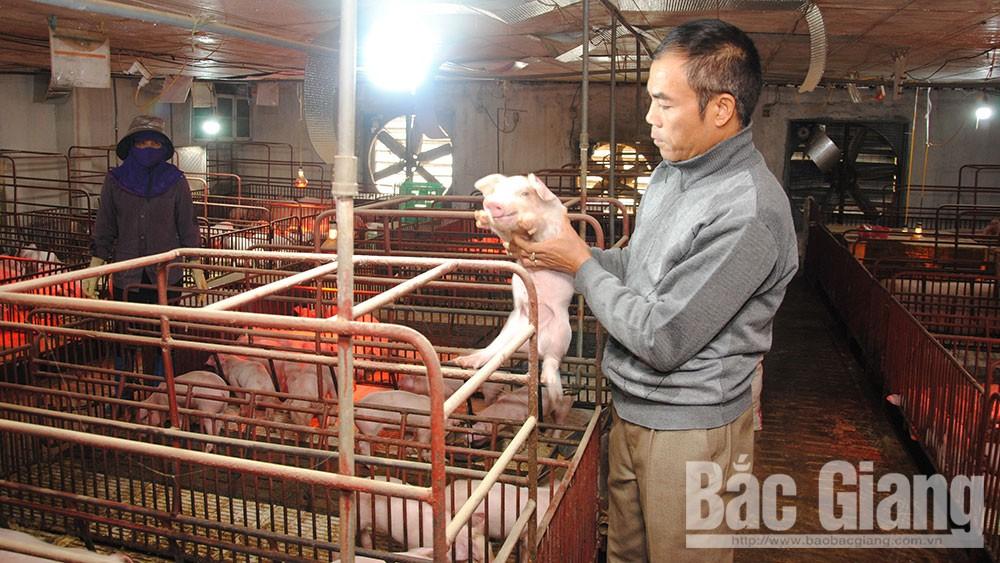 Năm Hợi bàn chuyện chăn nuôi lợn