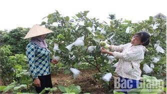 Tân Yên ứng dụng công nghệ tiên tiến cho cây ăn quả