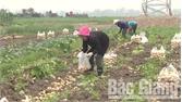 Trồng khoai tây, nông dân thu lãi 50 triệu/ha