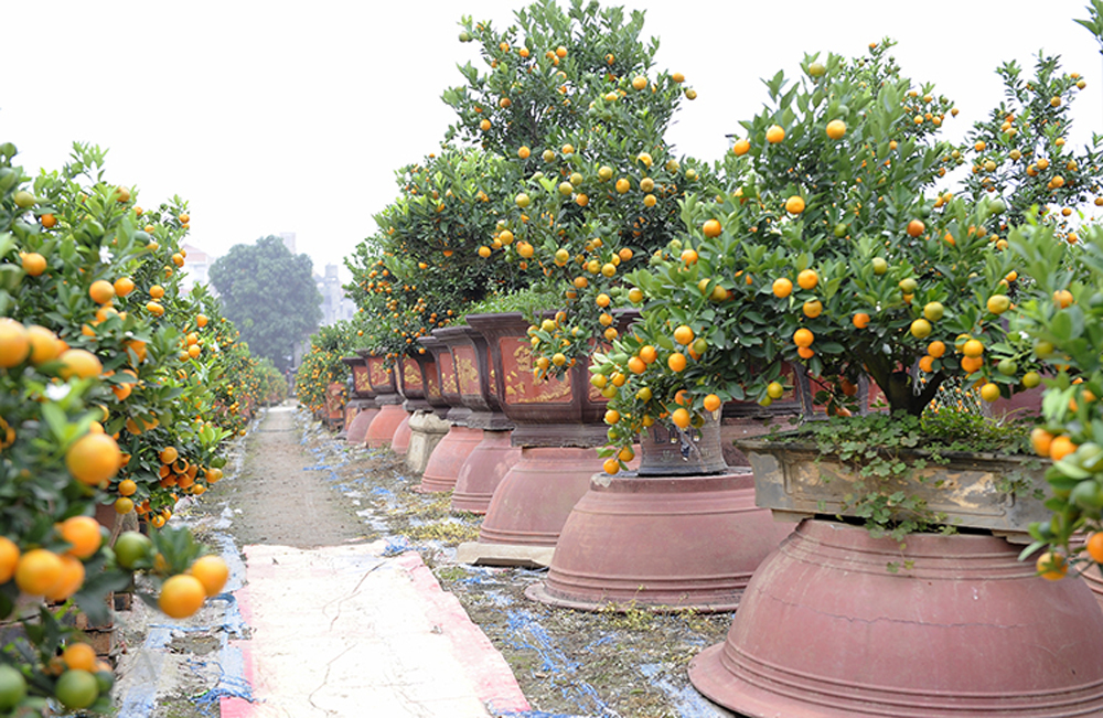 Tu Lien kumquat village, gears up, Year of the Pig, Tu Liem village, ornamental kumquat trees, upcoming Lunar New Year