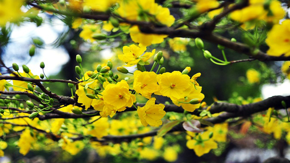 A yellow ochna recycling tradition takes root
