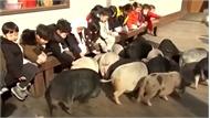 Bảo tàng heo tại Hàn Quốc hút khách dịp Tết Kỷ Hợi