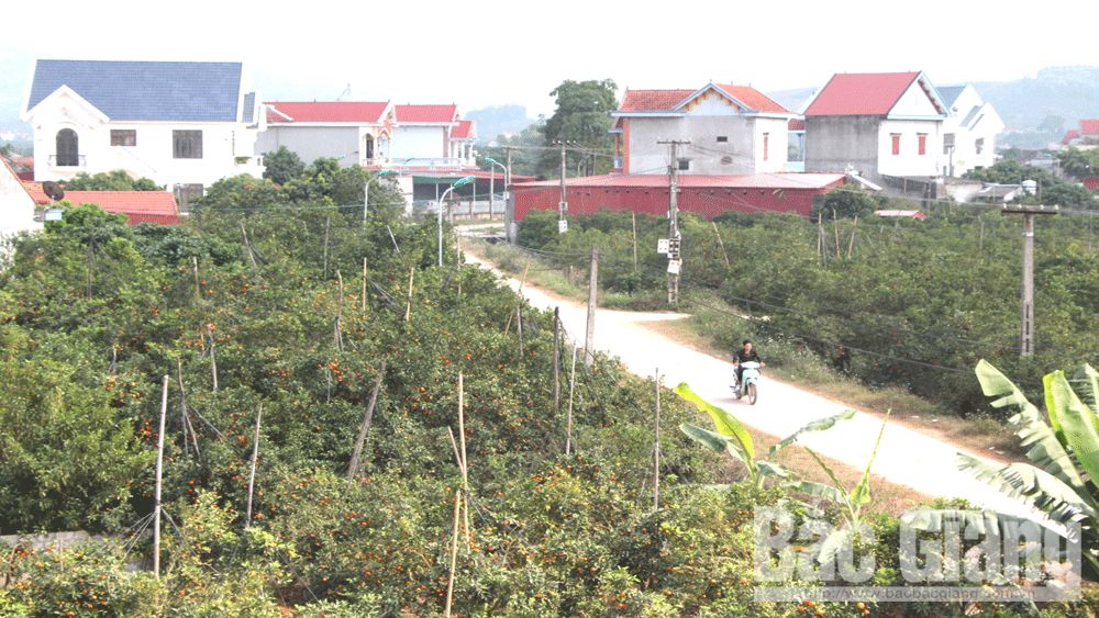 Dong Quyt,  village of villas, Bac Giang province, prosperous life,  orange billionaire, stable economy, high income, new-style rural area