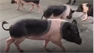 Độc đáo xiếc lợn ở Việt Nam