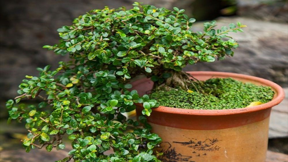 Bonsai captures vitality of nature
