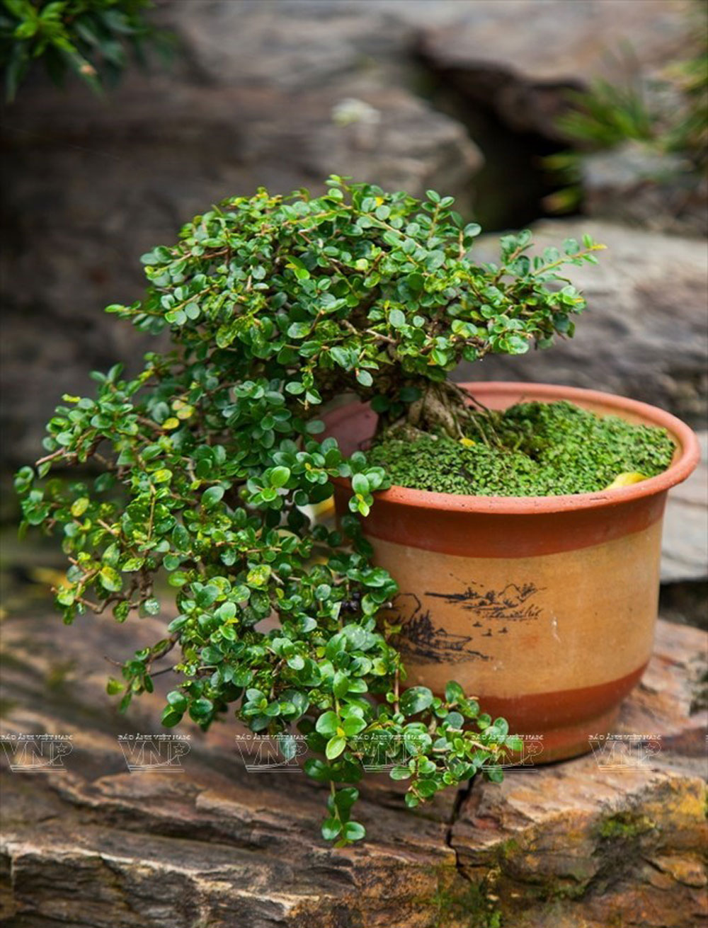Bonsai, vitality of nature, Bonsai tree planting, natural affinity, good fortune, long life, family ties, traditional Vietnamese landscapes, skillful hands