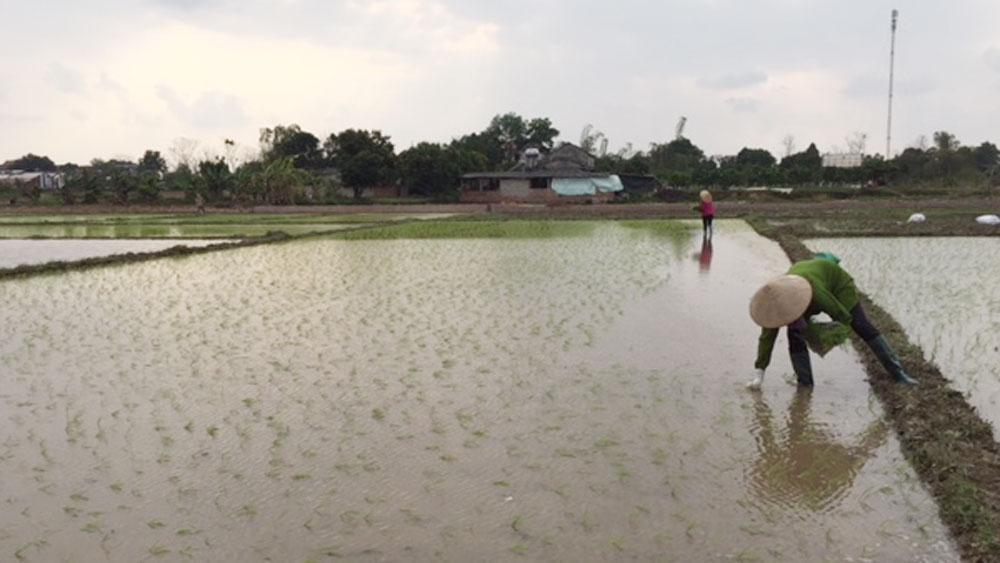 Nông dân Tân Yên, cấy lúa chiêm xuân