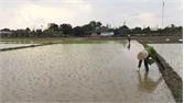 Tân Yên cấy hơn 65% diện tích lúa chiêm xuân