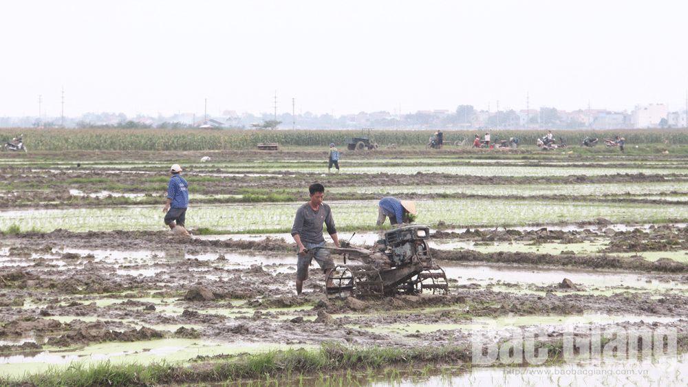 nông dân, vụ mới, Tết, đồng ruộng, Bắc Giang