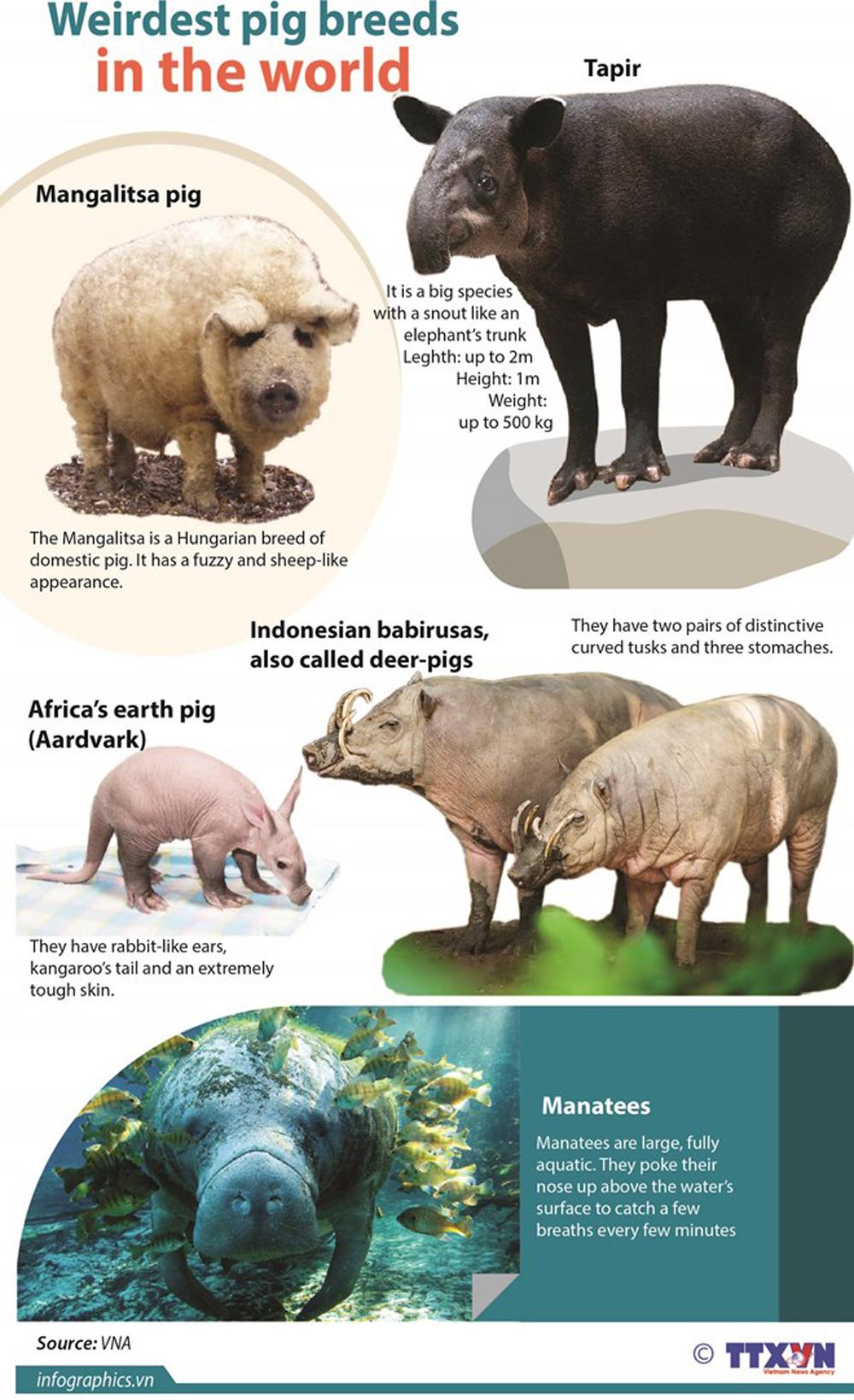 Weirdest pig breeds, year of the pig, tapir, mangalitsa pig, babirusas, earth pig, manatees