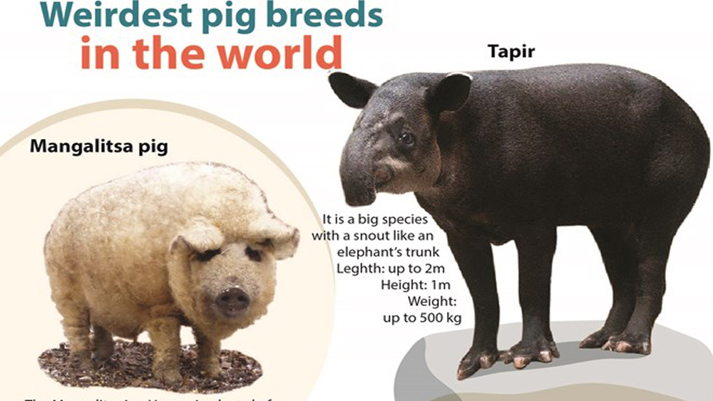Weirdest pig breeds in the world