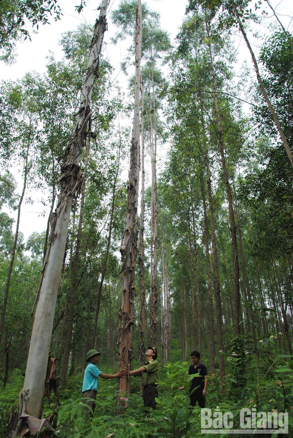 trồng rừng, gỗ lớn, khai thác gỗ, Bắc Giang, rừng