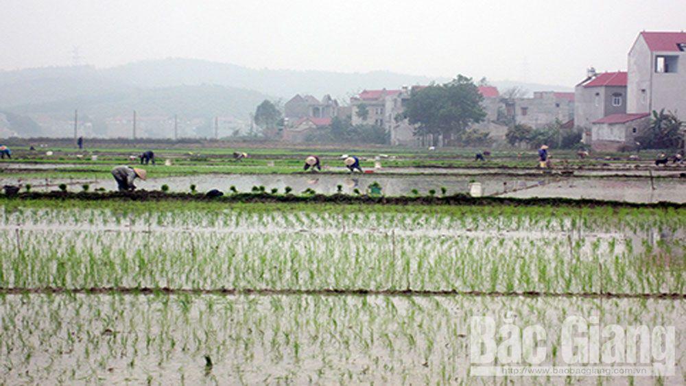 Lạng Giang phấn đấu gieo cấy 6.800 ha lúa vụ chiêm xuân